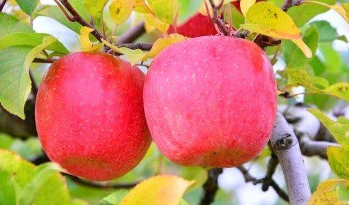 【りんご】ふじの美味しいものの見分け方や選び方とは?